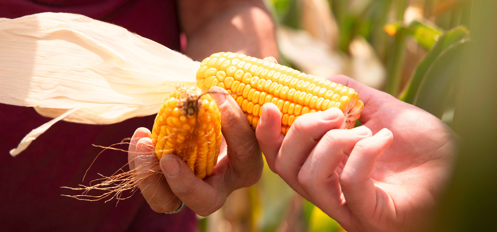 Hands and corn