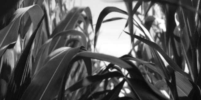 Black and white corn leaves
